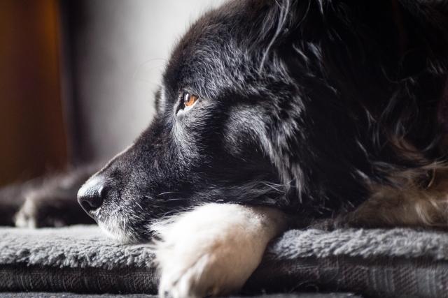 Border collie profile of dog resting.